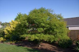 Seiryu Japanese Maple Acer Palmatum Seiryu Pnw Plants