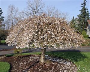 Snow Fountains Weeping Cherry Prunus Spp Snofozam Pnw Plants