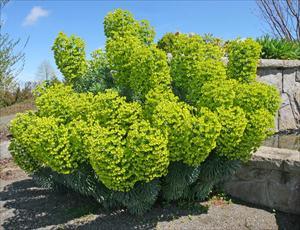 Mediterranean Spurge Euphorbia Characias Wulfenii Pnw Plants