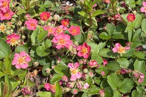 Pink panda strawberry fragaria sp pink panda pnw plants mightylinksfo