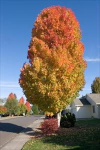 Bowhall Red Maple Acer Rubrum Bowhall Pnw Plants